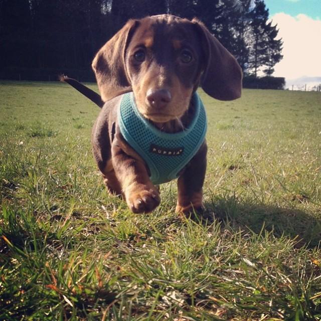 Teddy the dachshund at Buddies Doggy Day Care